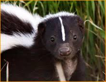 skunk removal cost. Plain Skunk For Skunk Removal Cost