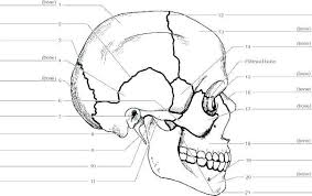 Skull Bones Coloring Pages Skull Coloring Pages Anatomy Free Of