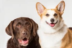 corgi lab mix puppies. Beautiful Mix Physical Characteristics Of Corgi Lab Mixes And Mix Puppies