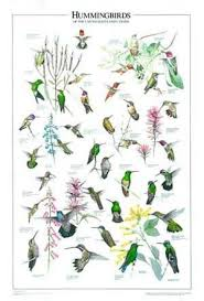 Amazon Com Hummingbirds Poster And Identification Guide