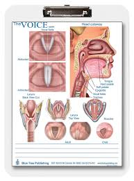 Larynx Chart Swallowing And Larynx Voice Clipboard Two Sided Chart And Dry Erasable