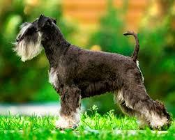 Schnauzer Miniature Dog Breeds Purina Australia