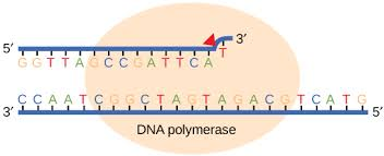 Dna Replication Definition Dna Replication Biology For Non Majors I