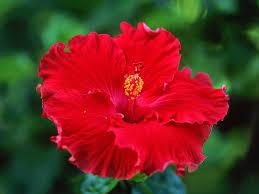 hibiscus flowers hibiscus flowers punag