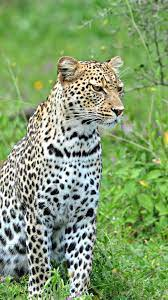 Leopard iPhone Wallpapers, Mobile ...