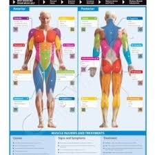muscle groups chart dumbbell workout exercise poster strength chart build mus