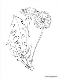 Dandelion Coloring Page Botany Pages Majestic Free Printable