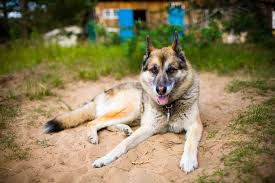 german shepherd husky mix full grown. Beautiful Full German Shepherd Husky Mix  AKA Gerberian Shepsky ALL YOU NEED TO KNOW  Ultimate Home Life For Full Grown