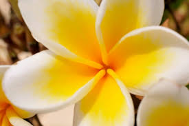 Image result for jasmine flower