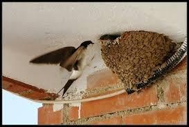 Resultado de imagen de nido de avion comun