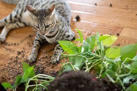 f3 savannah cat picture