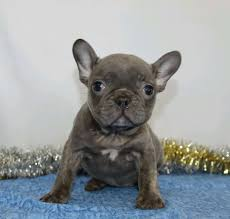 AKC Registered French Bulldog For Sale ...