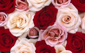 Roses Flowers Wallpapers Wallpaper Rose Flowers Wallpapers For Free Download About 3 536