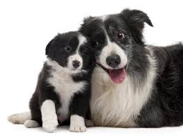 know the border collie rament and