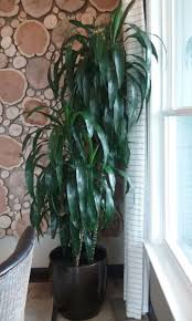 indoor home office plants royalty. This Indoor Plant Is A Dracaena Lisa Cane, Installed And Cared For By Charlotte Plantscapes Home Office Plants Royalty