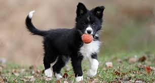 border collies everything you need to