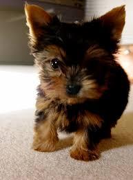 cute yorkie puppies for sale. Wonderful Yorkie Cute Yorkie Puppies For Adoption To Sale A