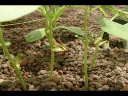 Green Bean Growth Chart Green Bean Time Lapse
