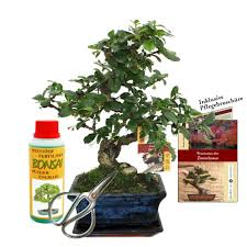 gift set bonsai carmona ientee about 6 years old beginner set