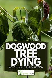 dogwood tree dying what could be