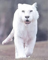 albino black panther. Simple Panther White Panther  White Panther Albino Godu0027s Creatures Inside Albino Black