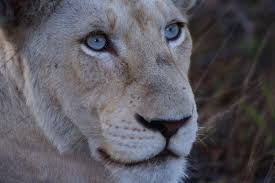 white lioness with blue eyes. Perfect Lioness Assignment 3  Unity And Variety Lioness With Blue Eyes Intended White With Blue Eyes E