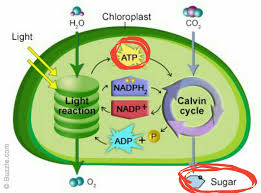 Light Cycle Photosynthesis Why Is Atp Produced In Photosynthesis Used To Synthesize