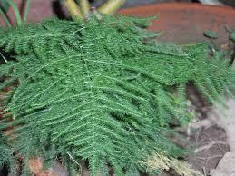 Asparagus - Viquipèdia, l'enciclopèdia lliure