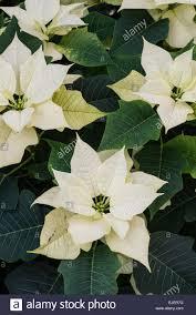 Weihnachtsstern Euphorbia Pulcherrima Premium Weiß