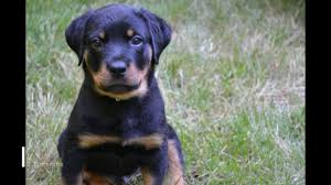 Rottweiler Puppy Growth Chart Growing Rottweiler From Puppy To Adult