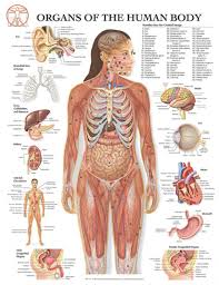 Female Organ Chart Free Human Body Organs Download Free Clip Art Free Clip