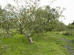 When Why U0026 How To Prune Fruit Trees In CT  Barts Tree ServicePrune Fruit Tree