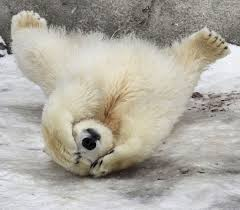 Image result for polar bear