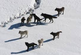 Dire Wolf Size Chart Wolf Facts Gray Wolves Timber Wolves Red Wolves Live