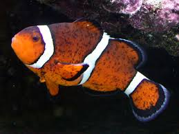 black and orange clown fish. Delighful Clown IMG With Black And Orange Clown Fish I