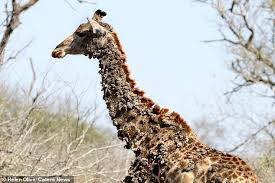 Image of: Cute Giraffes Are The Worlds Largest Land Mammal Reaching Heights Of Almost 20 Feet Which Allows Daily Mail Giraffe Is Covered In Unsightly Bumps Due To Birds Pecking At Its