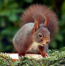 squirrels are a constant source of frustration for any vegetable gardener and i for one am always looking for new and natural ways for keeping squirrels