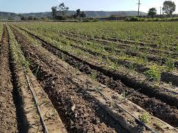 organic farming in san diego suzie s farm green garlic