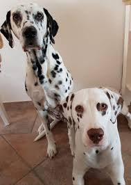 <b>Dalmatian</b> (<b>dog</b>) - Wikipedia