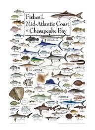 Chesapeake Bay Fish Identification Chart Fishes Of The Mid Atlantic Coast And Chesapeake Bay Regional