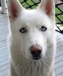 white husky german shepherd mix puppies. Modren Husky German Shepherd Husky Mix  Dakota The  Dogs Daily  Puppy Throughout White Puppies Y