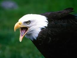 Small Picture Fun Eagle Facts for Kids