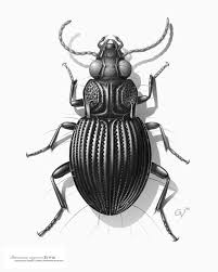 Drawing of a carabid beetle from south america the first illustration · volkswagen