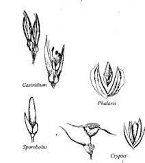 Fam. Graminaceae - florae.it