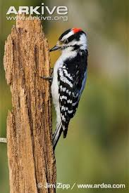 Image result for woodpeckers pecking pictures