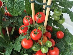 Image result for eggplants, tomatoes cucumbers growing in pots