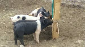 picture of automatic hog waterer