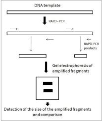 The Principle Of Rapd Pcr Technique Arrows Indicate Primer