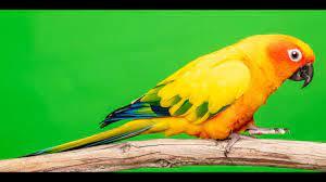 Lola Bird 1 (Lola the Sun Conure) - YouTube