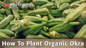 How To Plant Organic Okra Organic Gardening Blog